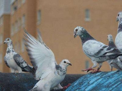 二楼阳台养鸽开家方法