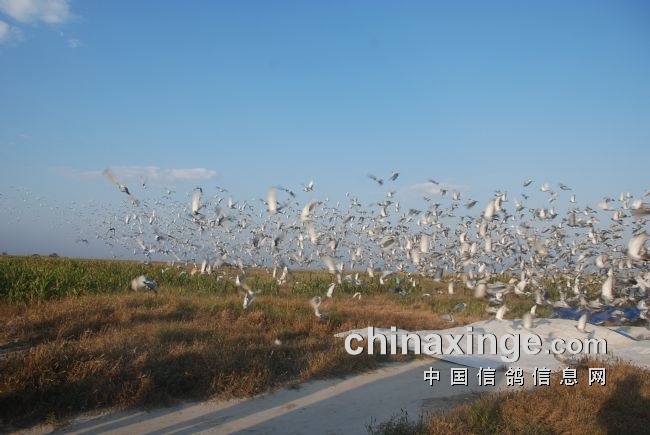 吉林大安信和100公里收费站 当日归巢率高达93.